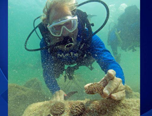 Coral Rehab Underway Off Key West